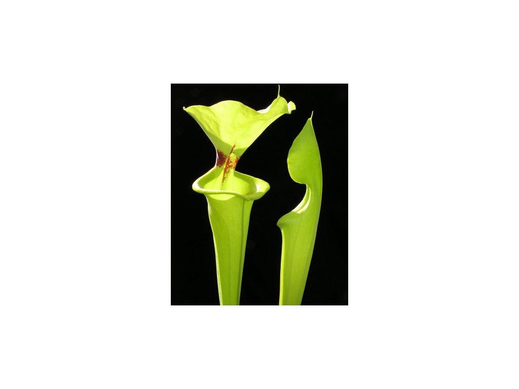 Sarracenia flava var. rugelii, střední rostlina