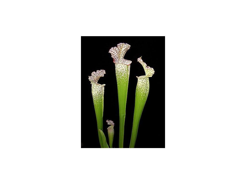 Sarracenia leucophylla, dospělá rostlina