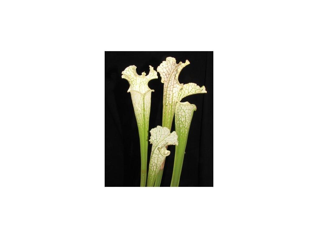 Sarracenia leucophylla výběr z bílých rostlin, střední rostlina