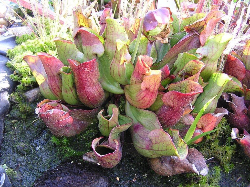 Sarracenia purpurea ssp. purpurea, dospělá rostlina