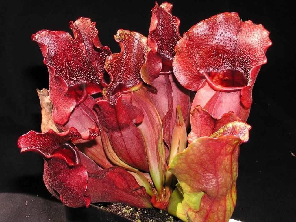 Sarracenia purpurea ssp. venosa, střední rostlina