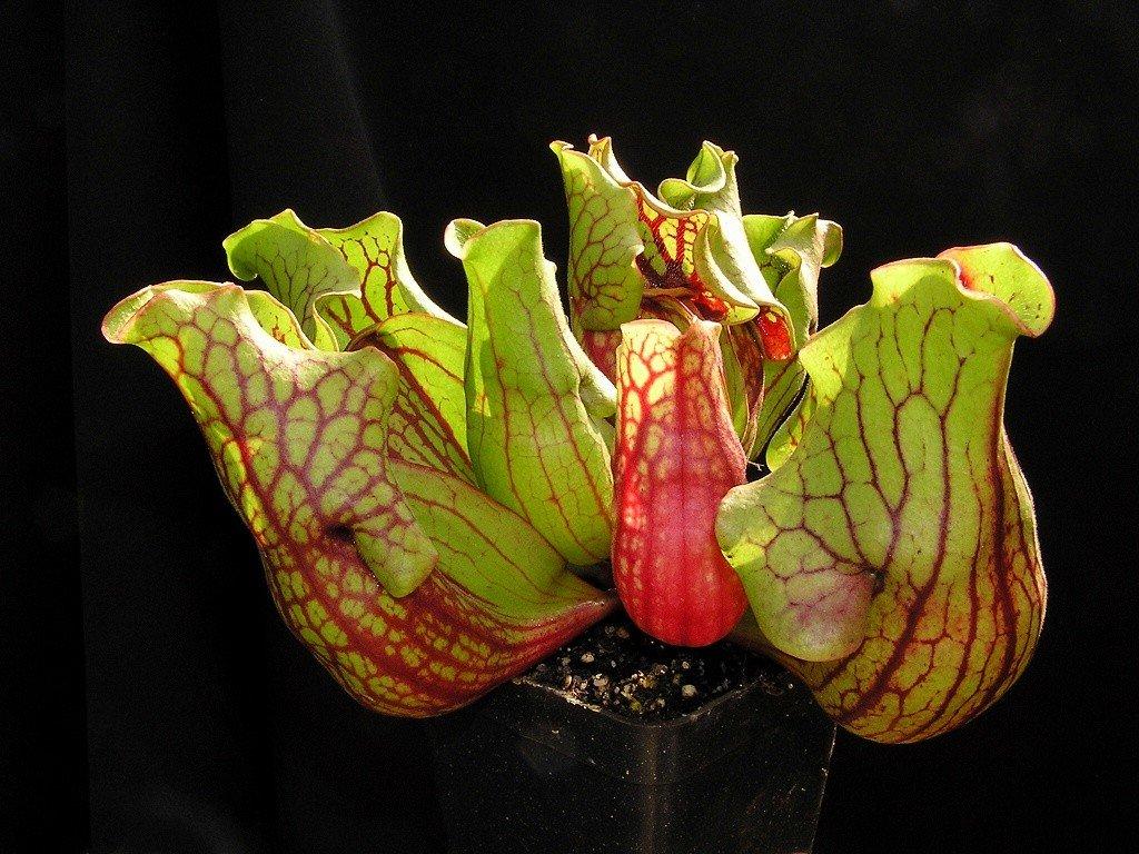 Sarracenia purpurea ssp. venosa var. montana, střední rostlina 5 cm