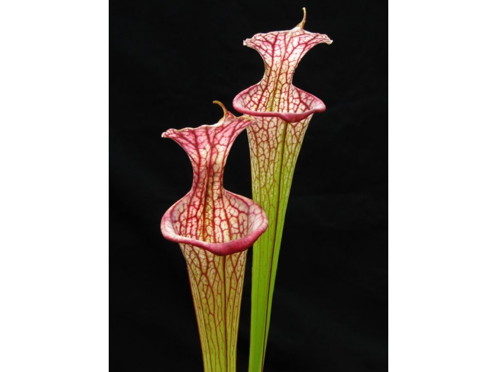 Sarracenia 'Leah Wilkerson' x 'Adrian Slack' klon H, střední rostlina