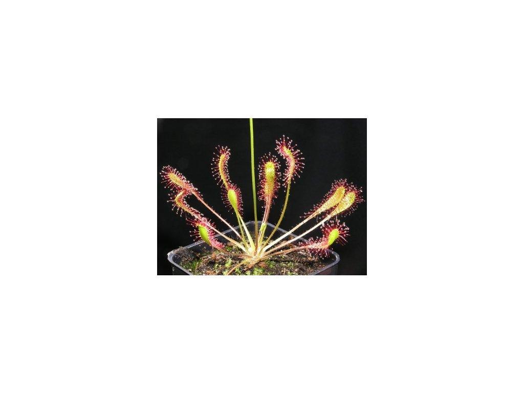 Drosera x obovata, střední rostlina 4-5 cm