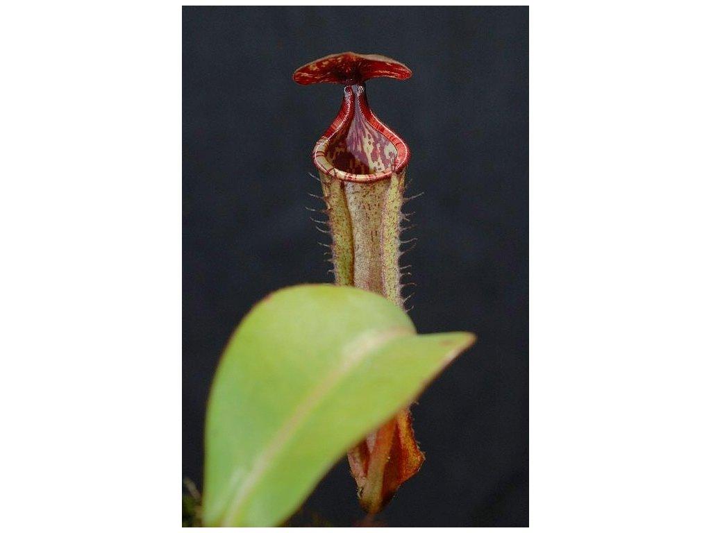 Nepenthes maxima x clipeata, samec, 10-12 cm