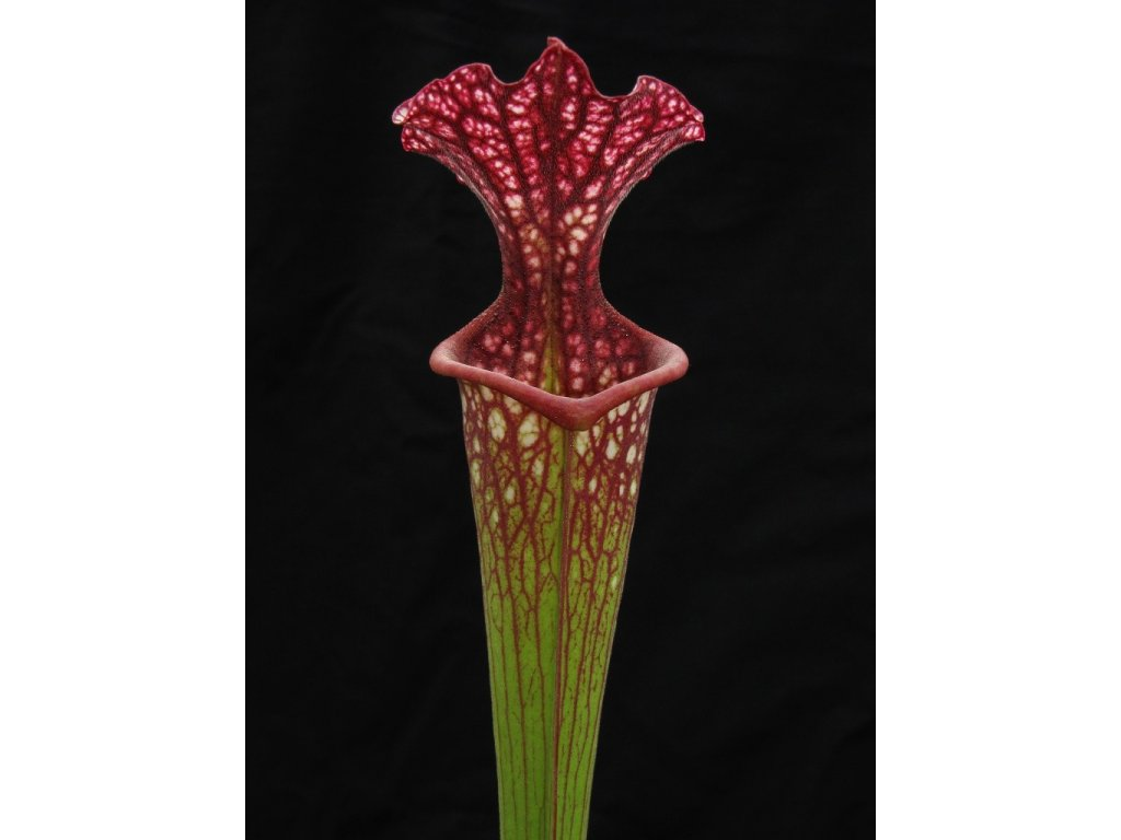 Sarracenia 'Přemysl Otakar I.' x 'Adrian Slack' klon E (6), dospělá rostlina