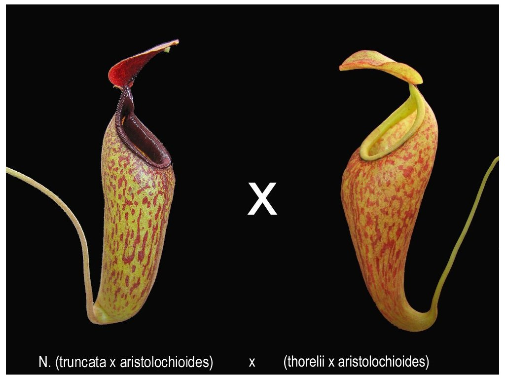 Nepenthes (truncata x aristo) x (thorelii x aristo) samec 8-10 cm