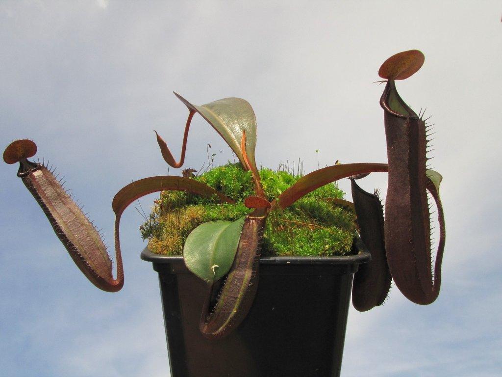 Nepenthes truncata x ramispina samec 10-12 cm
