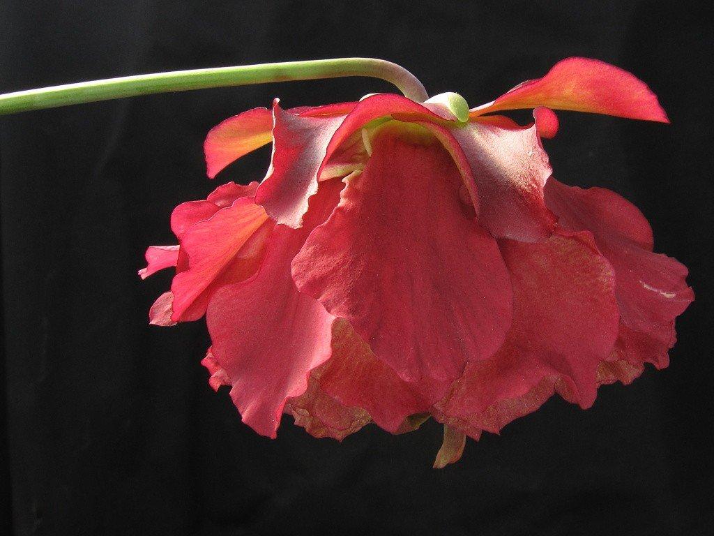 """Sarracenia """"Paeonia"""" střední"""