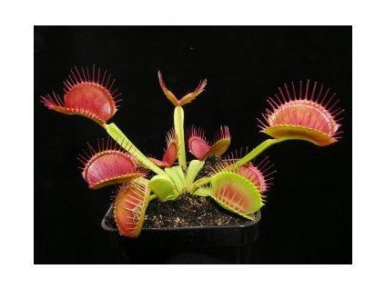 Dionaea muscipula - základní forma, větší semenáče - 3 cm, 3 kusy