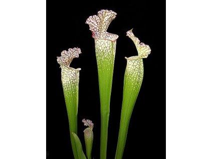 Sarracenia leucophylla, střední rostlina