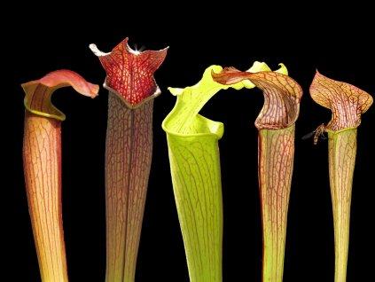 Malá kolekce poddruhů Sarracenia rubra