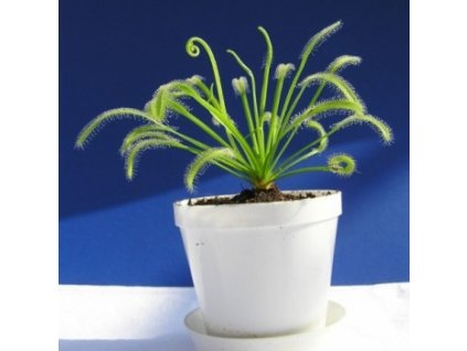 "Drosera capensis ""White Flower"""