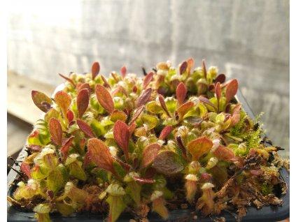 Cephalotus follicularis, juvenilní rostlina 2-3 cm