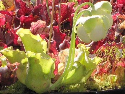 Sarracenia purpurea ssp. venosa var. burkii f. luteola - střední
