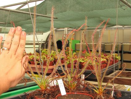 Drosera spiralis, 2 rostliny 6-7 cm