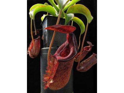 Nepenthes lowii x Mixta - samec 10-12 cm