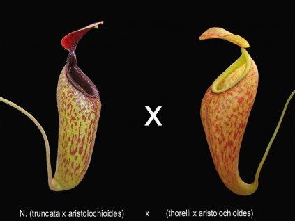 Nepenthes (truncata x aristo) x (thorelii x aristo) samec 8-10 cm