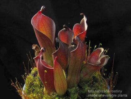 Heliamphora huberi (Angasima)