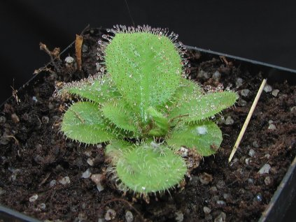 Drosera schizandra 4-5 cm