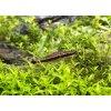 Krunýřovec jednopruhý | Otocinclus affinis
