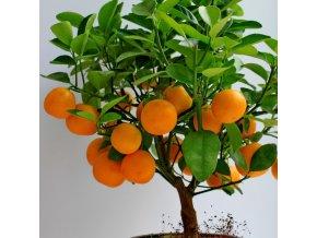 clementine mandarin orange trees nature hills nursery mandarin orange tree
