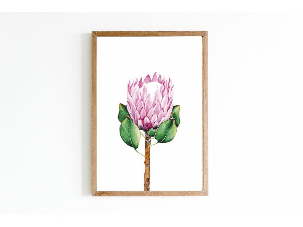 protea růžová návrh