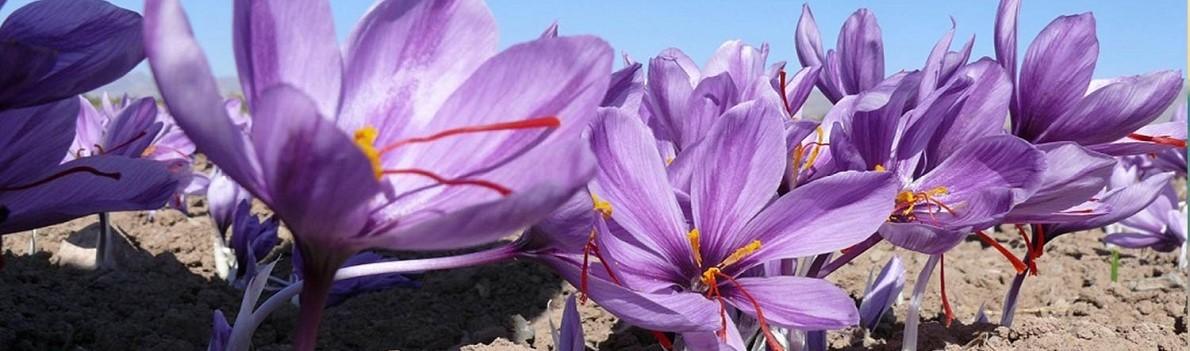 safranove kvety