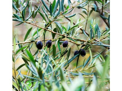 olive oil 968657 1280 (2)