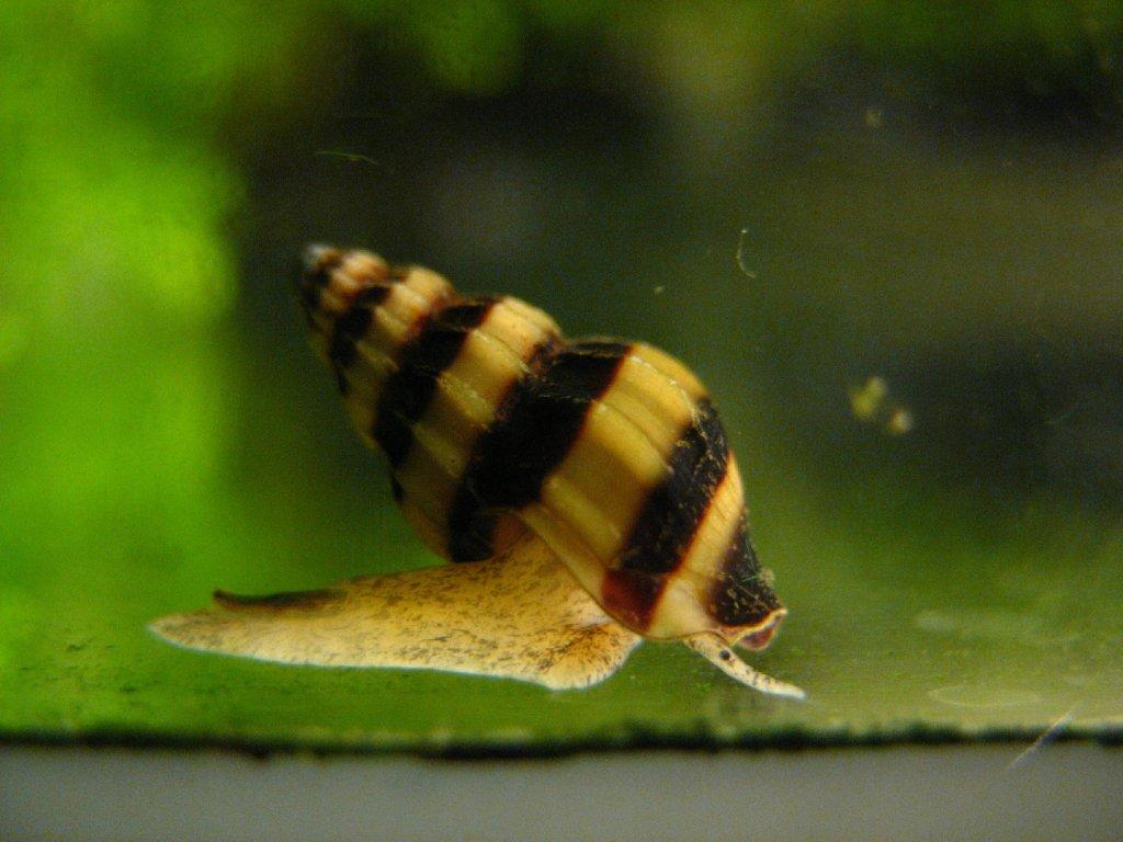 Clea (Anentome) helena - šnekožravý plž