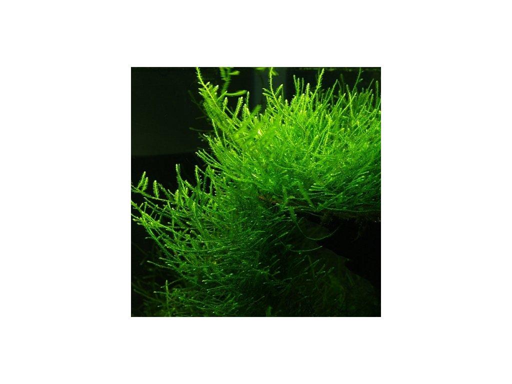 Jávský mech - Taxiphyllum barbieri