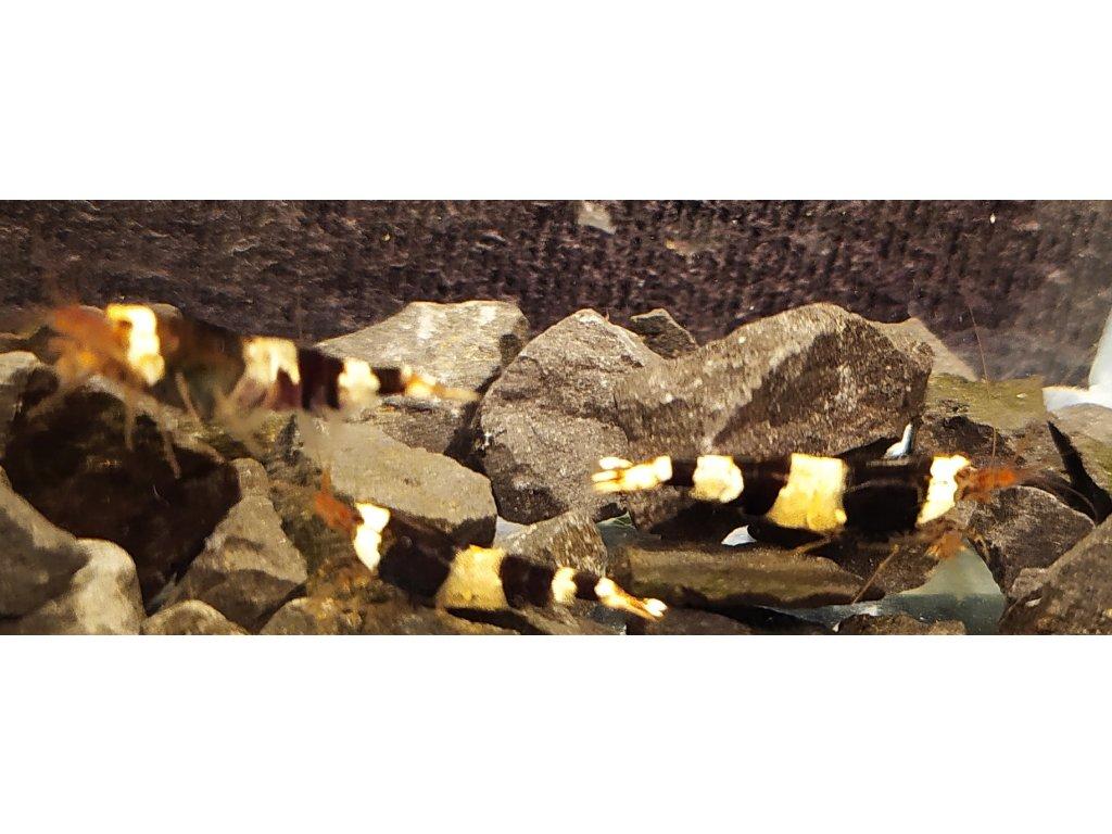 krevetka C. cantonensis Crystal Black