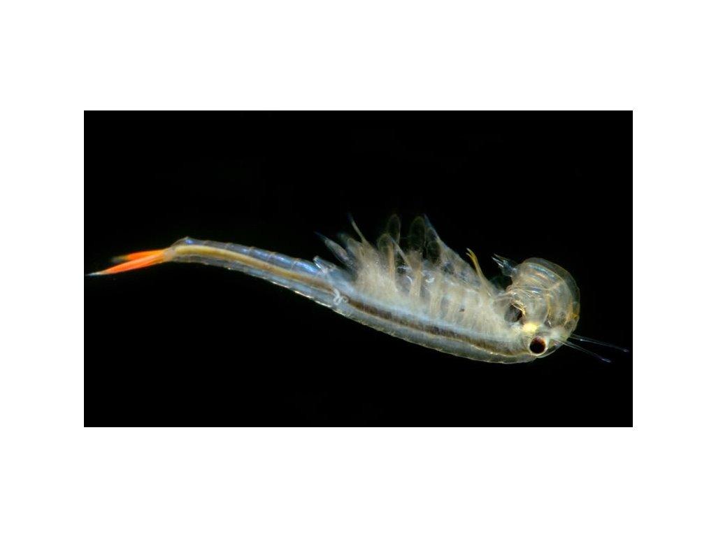 Streptocephalus siamensis