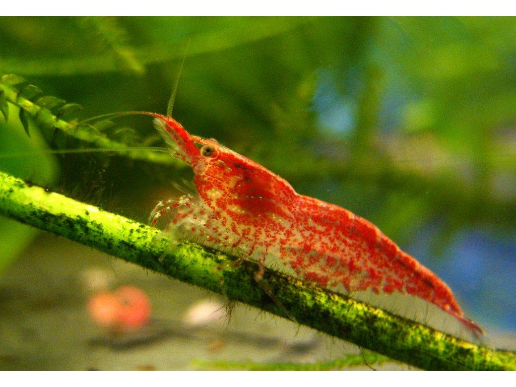 Neocaridina davidi var. Red Cherry