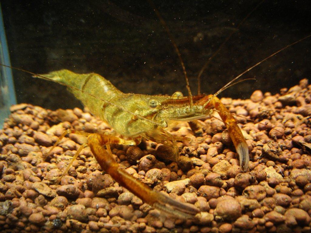 Macrobrachium dayanum - Krevetka čokoládová