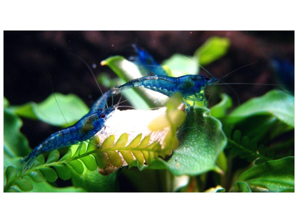 Neocaridina davidi - var. Blue