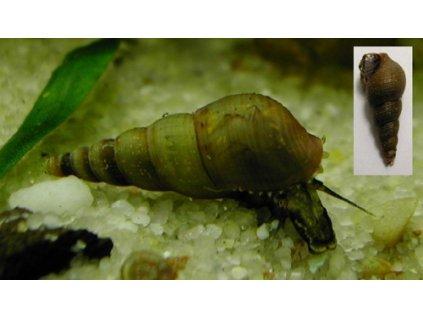 Piskorka vezovita - Melanoides tuberculata