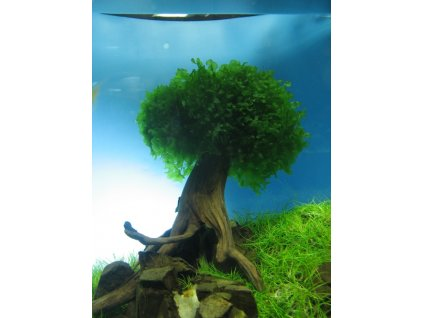 Lomariopsis lineata - podobná Monosolenium tenerum