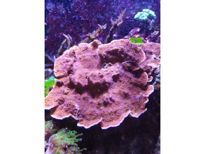 Hnědočervená Montipora