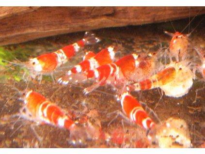 Caridina Cantonensis - Crystal red B C