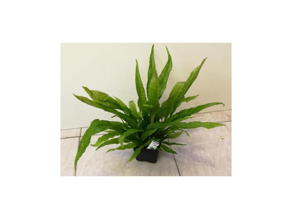 Microsorum pteropus - matečná rastlina