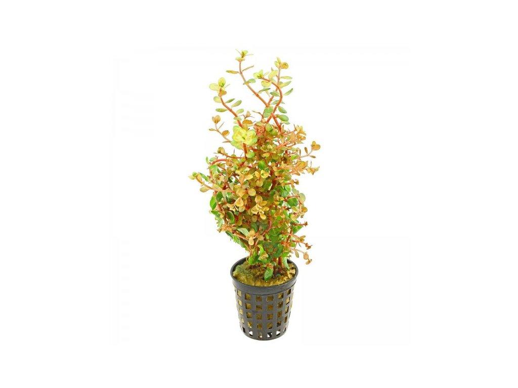 Rotala rotundifolia 'Orange Juice'