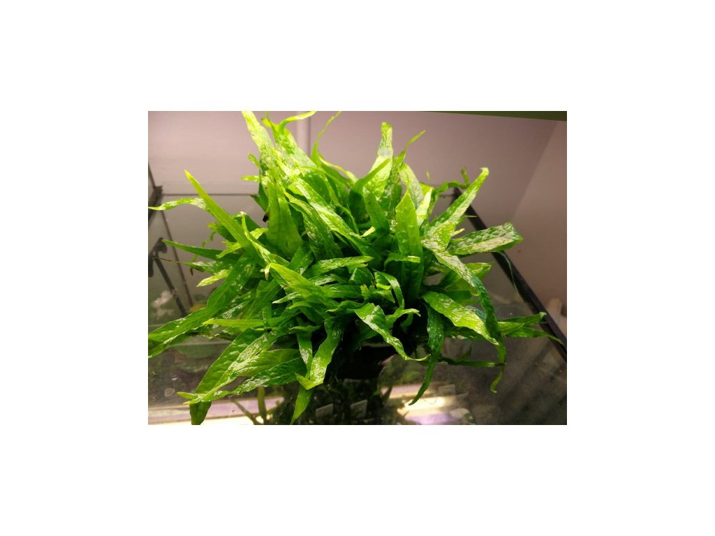 Microsorum mini - matečná rastlina