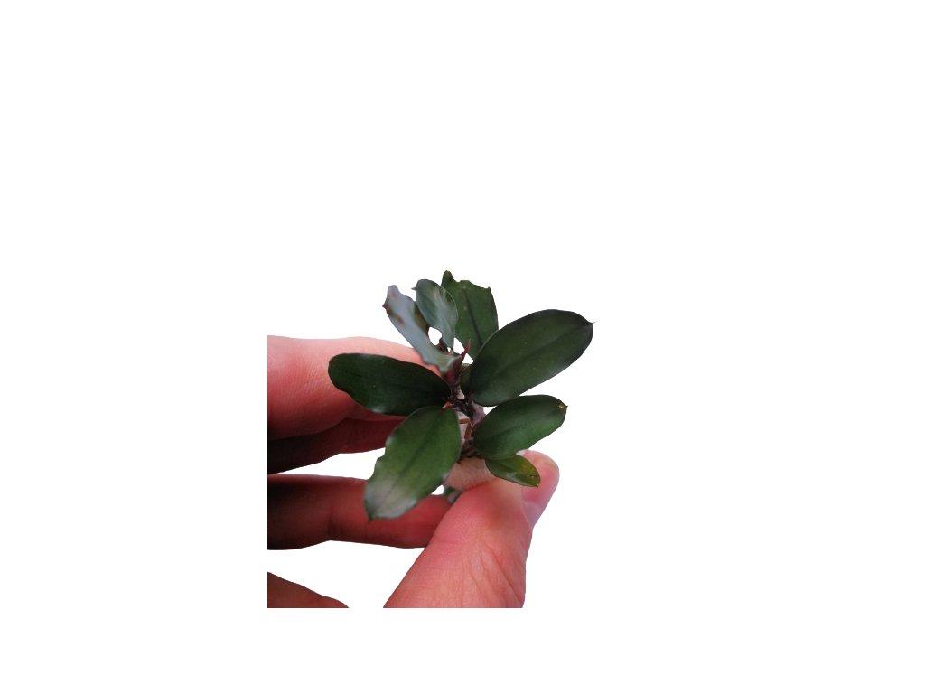 bucephalandra aragon 2