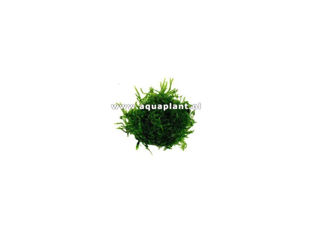 Java moss - Vesicularia dubyana