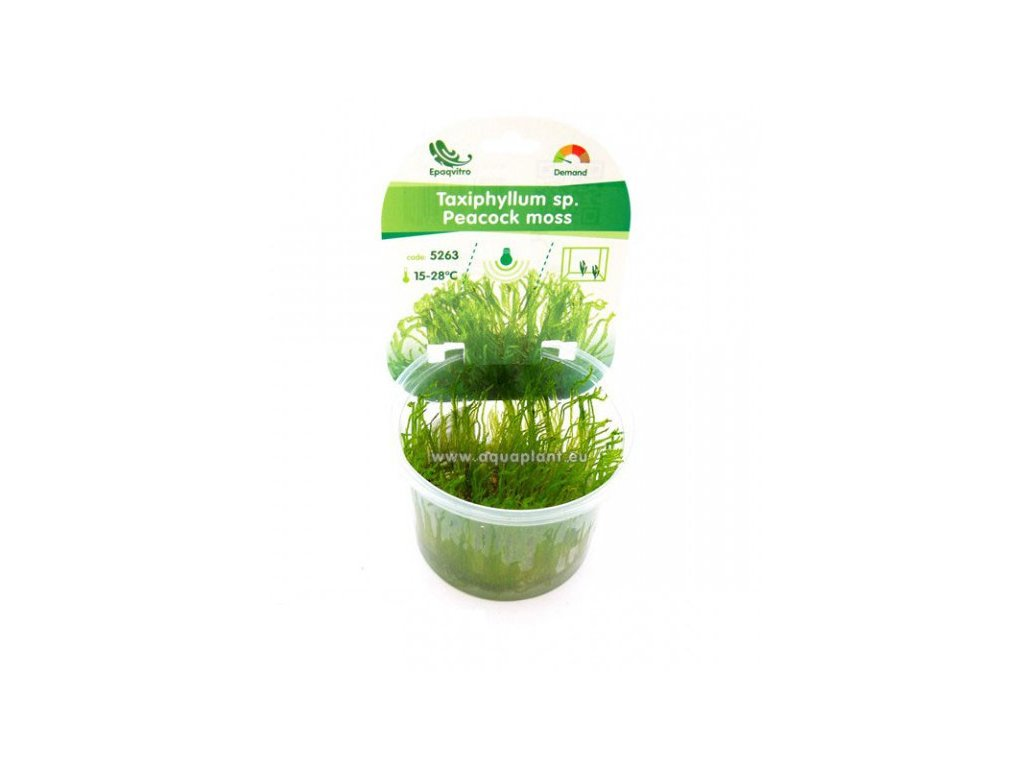 Taxiphyllum sp. - Peacock moss