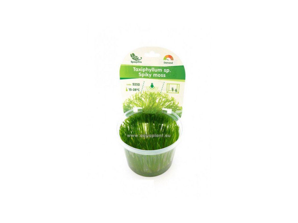 Taxiphyllum sp. - Spiky moss