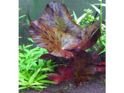 "Nymphaea lotus ""Red"""