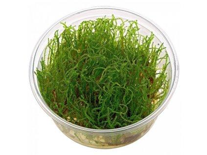 Vesicularia sp. - Creeping moss