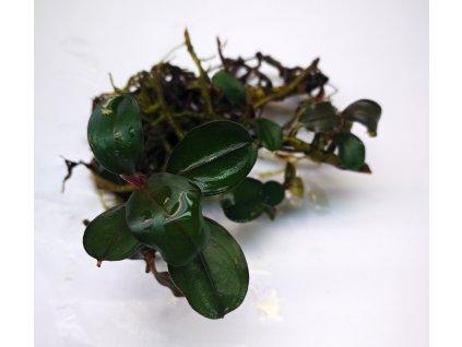 bucephalandra pandora